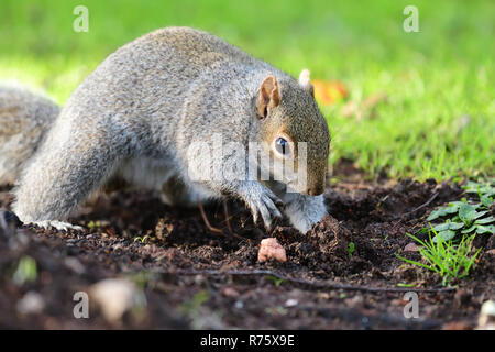 Portrait of a grey squirrel digging in the garden - Stock Photo