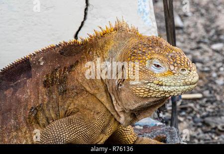 Land iguana on Baltra Island in Galapagos archipelago - Stock Photo
