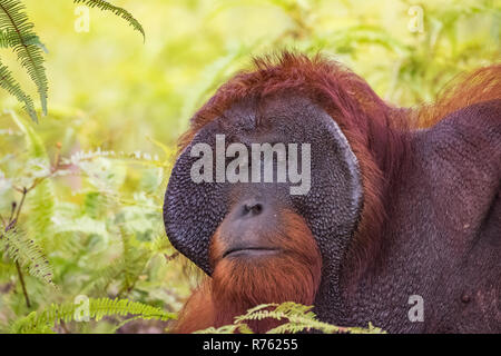 orangutan in nature. endangered wildlife. - Stock Photo