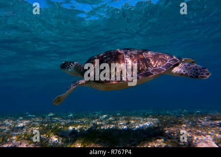 giant green sea turtle swimming and popping its head above