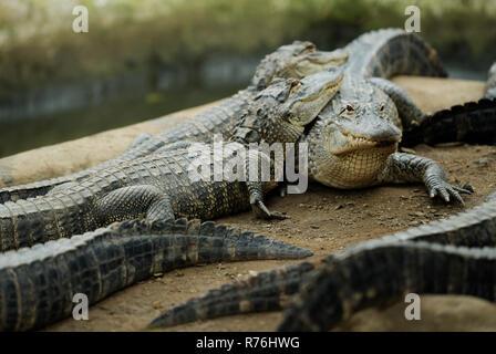 Environmental portrait of American Alligators, Alligator mississipiensis, huddling together in an enclosure of a Crocodile Farm - Stock Photo