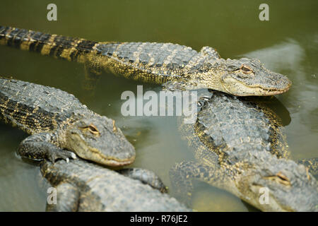 Partly submerged captive American Alligators, Alligator mississipiensis, huddle together in breeding pen of Crocodile Farm, KwaZulu-Natal - Stock Photo