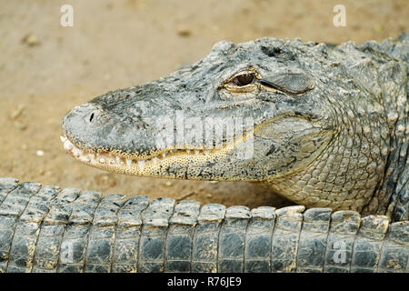 Snout and head of American Alligator, Alligator mississipiensis, showing teeth and smiling mouth, distinguishing feature of this Crocodylia species - Stock Photo