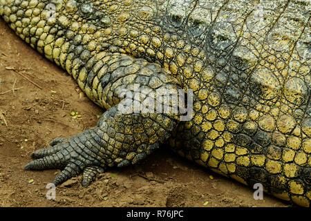 Durban, KwaZulu-Natal, South Africa, close-up, detail, adult Nile Crocodile, Crocodylus niloticus, skin and foot, patterns of animal camouflage - Stock Photo
