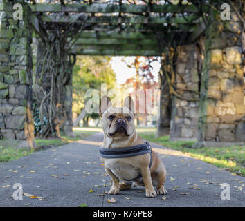 Young French Bulldog sitting in front of stone gateways. - Stock Photo