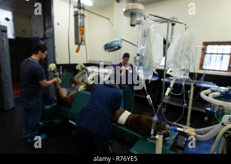 Surgeons operating a horse in operation theatre - Stock Photo