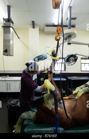 Surgeon examining a horse in operation theatre - Stock Photo