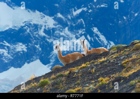 Guanacos (Lama guanicoe) on a ridge, Torres del Paine National Park, Chilean Patagonia, Chile - Stock Photo