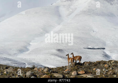 Guanacos (Lama guanicoe) on a ridge in front of snow-capped mountains, Torres del Paine National Park, Chilean Patagonia, Chile - Stock Photo
