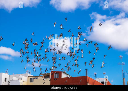 Flock of homing pigeons flying in a circular motion in the sky above Alcala, Tenerife, Canary Islands, Spain - Stock Photo