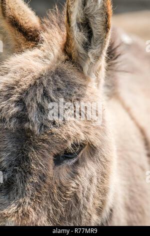 Large furry donkey face closeup - Stock Photo