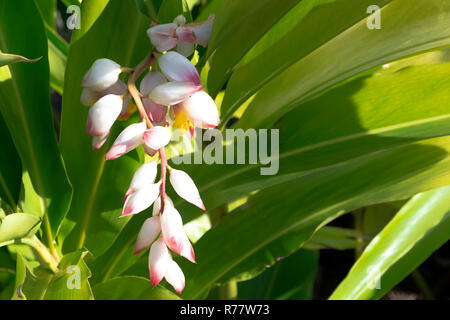 Alpinia zerumbet, commonly known as shell ginger, pink porcelain lily, variegated ginger or butterfly ginger - Stock Photo
