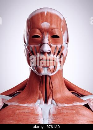 3d rendered illustration of the head and neck muscles. - Stock Photo