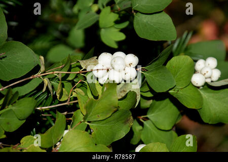 bright shining common snowberry, symphoricarpos albus bush in autumn with white berry-like drupes - Stock Photo
