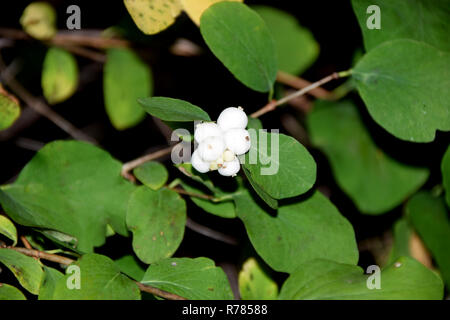 common snowberry, symphoricarpos albus bush in autumn with white berry-like drupes - Stock Photo
