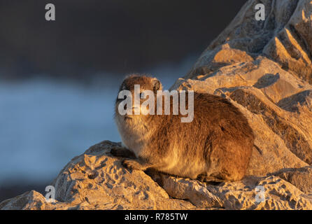 Rock Hyrax, Procavia capensis, on coastal rocks at Hermanus, Western Cape, South Africa. - Stock Photo