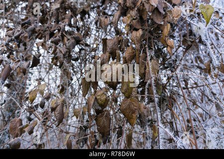 Close-up of a hoarfrost on brown dried Leaves on a cold Winter Day in the Forest. - Stock Photo