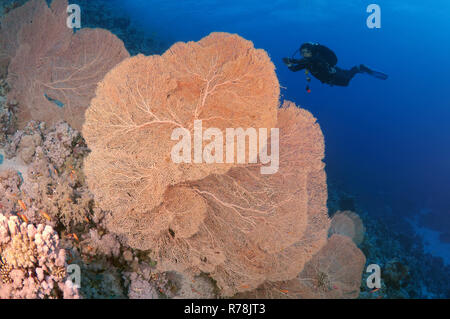 Diver looking at Venus Sea Fan (Gorgonia flabellum), Ras Muhammad National Park, Sinai, Red sea, Egypt - Stock Photo