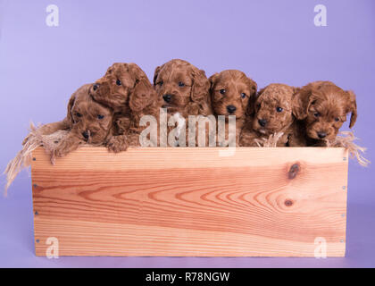 Cockapoo Puppy dog cute professional photograph - Stock Photo