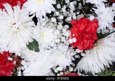 Beautiful pink chrysanthemum as background picture. Chrysanthemum wallpaper, chrysanthemums in autumn - Stock Photo