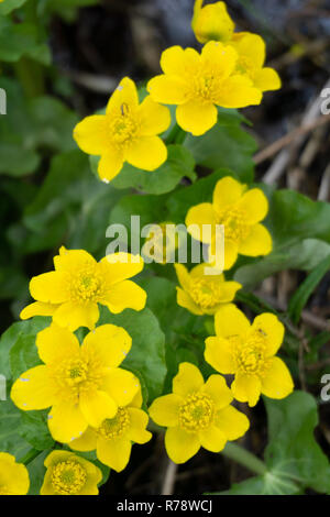 Spring background with yellow Blooming Caltha palustris, known as marsh-marigold and kingcup. Flowering gold colour plants in Early Spring - Stock Photo