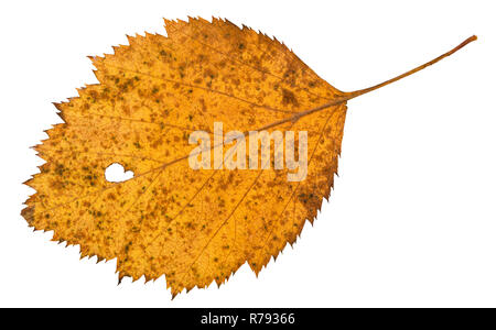 back side of holey dried leaf of hawthorn tree - Stock Photo
