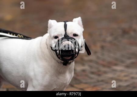 White Staffordshire Bull Terrier dog  wearing black muzzle. - Stock Photo