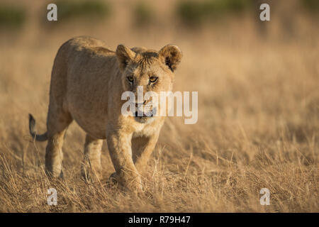 A young lion cub (Panthera Leo) walks over the Savannah in golden sun in the Masai Mara, Kenya - Stock Photo