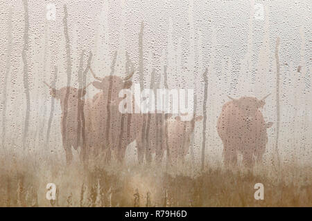 long horned cattle in the morning mist seen through raindrops on windshield of car - Stock Photo