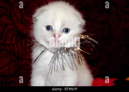 Little white fluffy kitten sitting on a red sofa. Offended face cute Fold British is decorated with tinsel, preparing for the New Year - Stock Photo