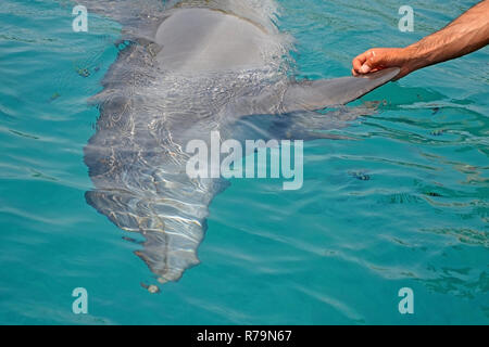 The rescued smiling dolphin holds its flippers with human hands. Sea dolphin Conservation Research Project in Eilat, Israel. saving animals, trusting  - Stock Photo