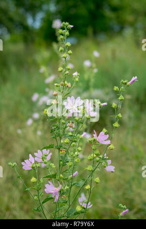Althea officinalis - medical plant grow in wild nature - Stock Photo