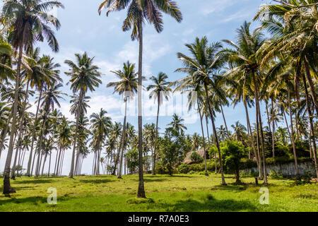 Growing coconut palms. Tropical mood. Tabanan, Bali, Indonesia. - Stock Photo
