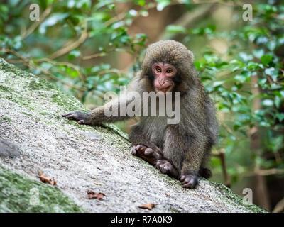 Yakushima macaques (Macaca fuscata yakui) in woodland in Western Yakushima, Japan. - Stock Photo