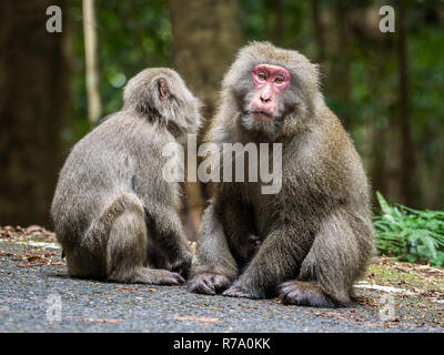Yakushima macaques (Macaca fuscata yakui) in woodland in Western Yakushima, Japan. - Stock Photo