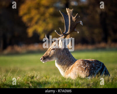 A male fallow deer (stag) is seen in London's Richmond Park on 26 November 2017. - Stock Photo
