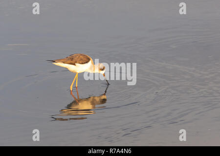 A black-winged stilt searches for food in the calm, shallow waters in Ras al Khor, Dubai wetlands. - Stock Photo