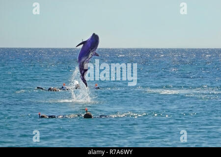 Dolphin jumping out of the Red sea near divers. Snorkeling in Dolphin Reef, Israel. - Stock Photo