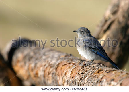 Mountain Bluebird on wooden log fence, Luther Taylor Cabins, Grand Teton National Park, Wyoming, USA - Stock Photo