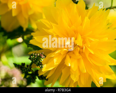 Close-up of a yellow ranunculus blossom in spring - Stock Photo