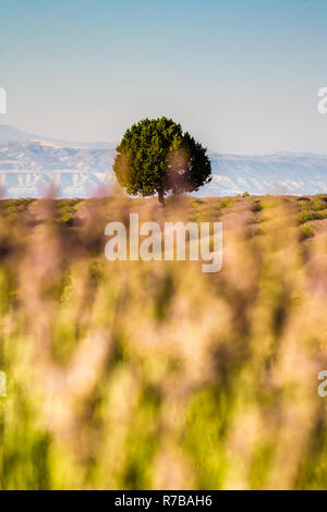 Sunset Over Violet Lavender Field in Turkey - Stock Photo