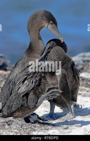 Flightless Cormorant (Phalacrocorax harrisi), Punta Espinosa, Fernandina, Galapagos Islands, Ecuador - Stock Photo