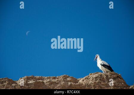 A stork opens its beak while sitting on an ancient wall against a deep blue sky which features a crescent moon - Stock Photo