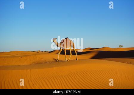 Baby camel, Sahara desert, Morocco, Africa - Stock Photo