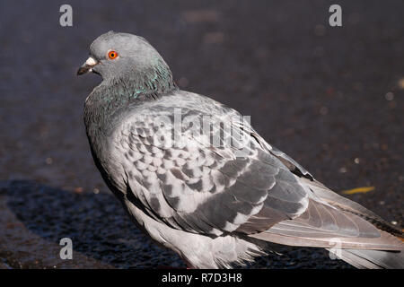 Close-up of a Rock Dove (Columba livia) in the City. - Stock Photo