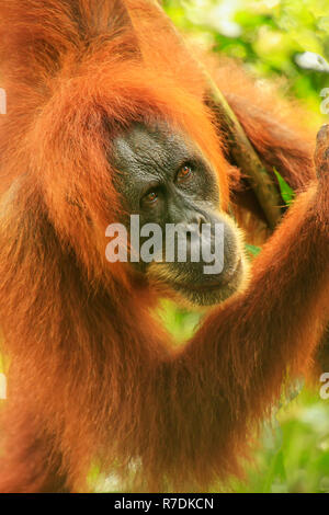Portrait of female Sumatran orangutan (Pongo abelii) in Gunung Leuser National Park, Sumatra, Indonesia. Sumatran orangutan is endemic to the north of - Stock Photo