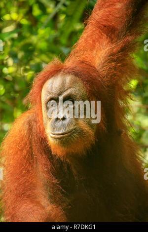 Portrait of a female Sumatran orangutan (Pongo abelii) in Gunung Leuser National Park, Sumatra, Indonesia. Sumatran orangutan is endemic to the north  - Stock Photo