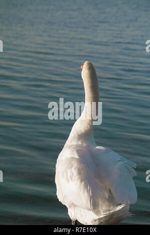 Rear View of a beautiful white Swan in front o a Lake. - Stock Photo