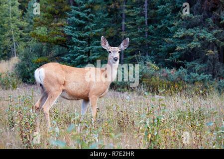 Female mule deer in Jasper NP, Canada