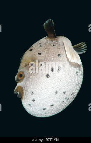 Blackspotted Puffer or Dog-faced Puffer (Arothron nigropunctatus), Bohol Sea, Philippines - Stock Photo